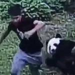 Foto pria setelah bergulat dengan panda (Shanghaidaily.com)