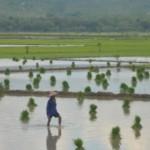 Petani menyiapkan benih padi untuk ditanam di area persawahan Desa Menawan, Klambu, Grobogan, Jateng, Kamis (10/11/2016). (JIBI/Solopos/Antara/Yusuf Nugroho)