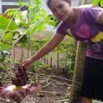 Warga Dusun Saminan RT 004/RW 001, Desa Canden, Kecamatan Sambi, Boyolali, menunjukkan bunga mirip bunga bangkai di salah satu kebun di dusun itu, Minggu (13/11/2016). (Hijriyah Al Wakhidah/JIBI/Solopos)