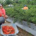 PERTANIAN BOYOLALI : Hortikultura di Lokasi Gelar Teknologi HPS Mulai Dipanen