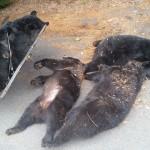 Empat beruang mati karena keracunan tumbuhan (West Wyoming Borough Police Department)