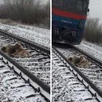 Kedua anjing menunduk saat kereta melintas (Facebook)