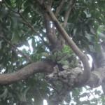 KISAH UNIK : Pohon Mangga Berbuah Mirip Pisang di Klaten Sedot 300 Pengunjung/Hari