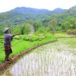 PERTANIAN PONOROGO : Keong dan Wereng Rusak Tanaman Padi, Petani Slahung Kewalahan