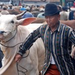 FOTO PETERNAKAN JATENG : Pembeli Sapi Turun 30%-50%