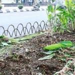 TAMAN KOTA SEMARANG : Tanaman di Tepi Jl. Pahlawan Rusak, Demonstran Kambing Hitam