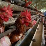 FOTO INFO BELANJA : Harga Turun, Telur Ayam Rp17.000/Kg
