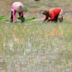 PERTANIAN BOYOLALI : Sulitnya Mencari Buruh Tani di Ngemplak