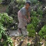 FOTO INFO BELANJA : Harga Pisang Grobogan Turun 60%