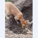 Anjing ini berusaha menguburkan anjing lain yang mati. (mirror.co.uk)