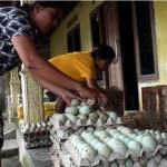 Dijuluki Kampung Bebek Sragen, 80% Warga Nusupan Hidup dari Telur Itik