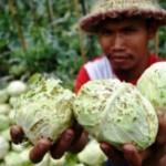 FOTO PERTANIAN SEMARANG : Duh, Kubis Getasan Diserang Ulat Tritip