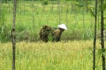 Seorang petani menggendong jerami melewati persawahan di tengah padi yang sudah menguning dan siap panen di Desa Ngawu, Kecamatan Playen, Gunungkidul, pada awal Februari lalu. (JIBI/Irwan A. Syambudi)