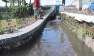 Tiga pemuda melihat selokan yang disebari ikan koi, nila merah, dan bawal di Sidowayah, Polanharjo, Klaten, Kamis (16/3/2017). (Ponco Suseno/JIBI/Solopos)