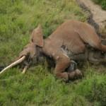 KISAH TRAGIS : Gajah Tertua di Afrika Dibunuh dengan Panah Beracun