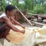 PERTANIAN PONOROGO : Petani Jagung Badegan Gagal Panen, Harga Naik Jadi Rp3.800/Kg