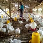 PETERNAKAN SRAGEN : Harga Turun, Peternak Ayam Mandiri Rugi Puluhan Juta Rupiah