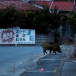 Babi hutan berkeliaran di kota yang ditinggalkan (JIBI/Reuters)