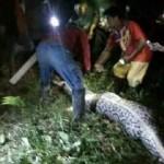 Foto ular piton yang menelan seorang warga mamuju bernama Akbar, 25. (Liputan6.com/Eka Hakim)