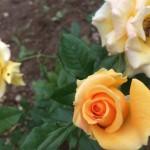 Harga Melambung, Mawar di Boyolali Jadi Incaran Maling
