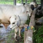 Peternakan sapi lokal peranakan ongole (PO) khas Jateng. (JIBI/Solopos/Antara/Aguk Sudarmojo)