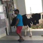 Seekor sapi hendak dibawa masuk lift di sebuah apartemen. (Istimewa/Facebook)