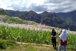 WISATA KULONPROGO : Ladang Tebu Girimulyo, Spot Foto Dadakan Yang Memikat