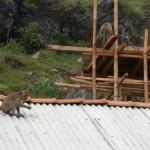 Serangan Kera Ekor Panjang Meluas, Petani Diajak Tanam Buah di Sekitar Lahan Pertanian