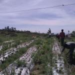 PERTANIAN BOYOLALI : Harga Sempat Anjlok, Petani Bawang Merah Cepogo Tunda Panen Sebulan