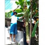 Gendut Arifinato, pemilik pohon pisang mengukur panjang ketandan pohon pisang di pekarangannya RT 003/RW 001 Desa Sudimoro, Teras, Boyolali, Selasa (30/5/2017). (Aries Susanto/JIBI/Solopos)