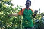 PERTANIAN GUNUNGKIDUL : Nilai Jual Tinggi, Penanaman Tomat Meksiko Dapat Dikembangkan Jadi Agrowisata