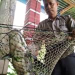 Aiptu Rewang menunjukkan ikan lele ukuran 60 cm yang dia budidayakan dengan pakan azolla pinnata atau tumbuhan mata lele di rumahnya, Rabu (14/6/2017). (Aries Susanto/JIBI/Solopos)