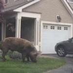 Polisi AS Tangkap Babi Raksasa Seberat 450 Kg