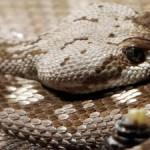 Ilustrasi ular. (Istimewa/Liberty Fox)
