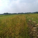 PERTANIAN BOYOLALI : Dianggap Hanya Formalitas, Asuransi Gagal Panen Tak Diminati Petani
