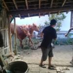 Dua pekerja mengevakuasi sapi dari pekarangan rumah. Salah satu sapi sempat berkeliaran di jalan raya Klaten-Jatinom. (Taufiq Sidik Prakoso/JIBI/Solopos)