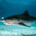 Ilustrasi Hiu Macan (Sharkopedia.discovery.com)