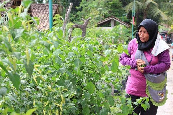 Salah satu anggota KTW Sekar Arum sedang memetik sayuran untuk kebutuhannya sendiri, Jumat (28/7/2017). (Rheisnayu Cyntara/JIBI/Harian Jogja)