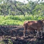 FOTO PERTANIAN JATENG : Petani Kaliwungu Bajak Lahan Pakai Sapi