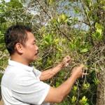 PERKEBUNAN PONOROGO : Ribuan Pohon Cengkih di Desa Wayang Mati Misterius