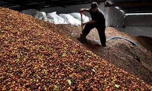 Buruh pabrik mencuci buah kopi untuk diolah menjadi biji kopi kering di Pabrik Kopi Banaran milik PTPN IX di Jambu, Kabupaten Semarang, Jateng, Kamis (27/7/2017). (JIBI/Solopos/Antara/Aditya Pradana Putra)