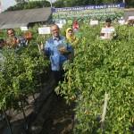 Bank Indonesia Turut Berperan Meningkatkan Produksi Cabai