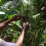 Seorang warga memotret fenomena unik berupa tanaman pisang yang berbuah lima tandan sekaligus di Blok VIII Desa Bugel, Kecamatan Panjatan, Kulonprogo, Senin (17/7/2017).(Rima Sekarani I.N./JIBI/Harian Jogja)
