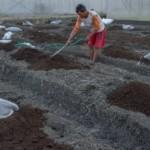 Pekerja meratakan pupuk organik bersubsidi di kawasan lahan pendampingan pertanian tanaman holtikultura bawang merah di Desa Brabo, Grobogan, Jateng, Sabtu (8/7/2017). (JIBI/Solopos/Antara/Aji Styawan)