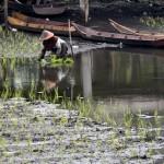 Warga menanam padi di bagian Danau Rawa Pening yang permukaan airnya surut di Asinan, Bawen, Kabupaten Semarang, Jateng, Senin (10/7/2017). (JIBI/Solopos/Antara/Aditya Pradana Putra)