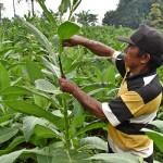 Foto Pertanian Jateng Hasilkan Tembakau