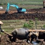 FOTO PERTANIAN SEMARANG : Petani Susukan Masih Bajak Pakai Kerbau