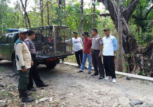 Monyet dari TSTJ Solo didatangkan ke Karanggede untuk memancing monyet-monyet liar yang meresahkan warga, Jumat (4/8/2018). (Istimewa)