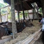IDULADHA 2017 : Lebih Murah Rp2 Juta, Sapi Bali Diminati di Sragen