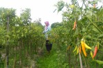 PERTANIAN SLEMAN : Cabai Rawit Anjlok, Petani Buntung